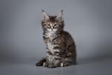 A little cute kitten 2 months old on a studio gray background.