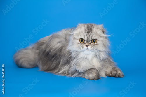 Poster Persian furry gray cat on studio background.