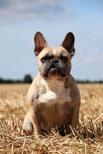 französische bulldogge sitzt im stoppelfeld