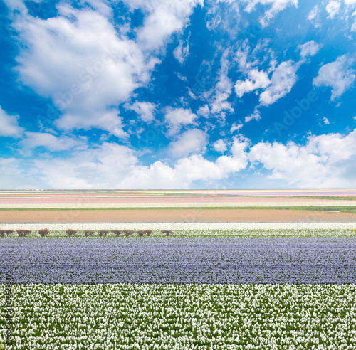 tulips fields Poster