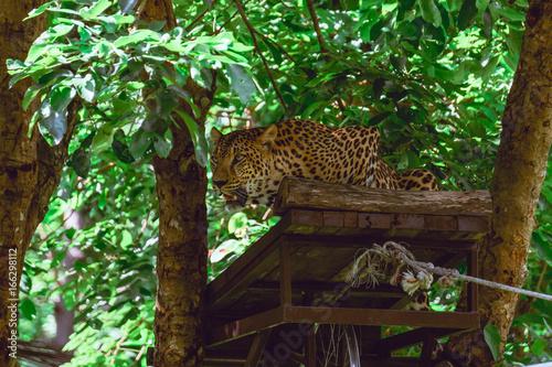 Fototapeta Leopard staring at victim