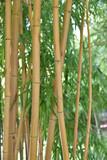 Bambous jaunes en été au jardin