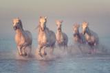 Piękne białe konie biegają galopem w wodzie w miękkim świetle słońca, Park Narodowy Camargue, departament Bouches-du-rhone, Prowansja - Alpy - Lazurowe Wybrzeże, południe Francja