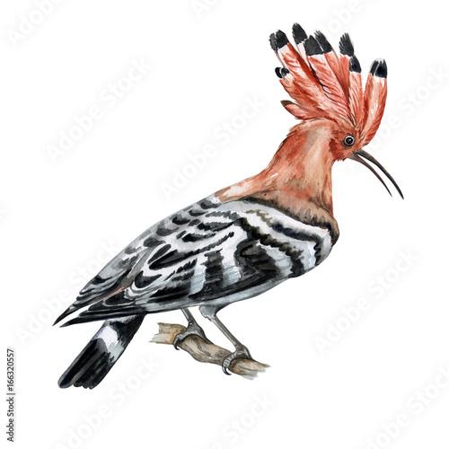 The hoopoe bird. Illustration. Watercolor  - 166320557