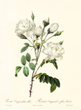 Old illustration of Rosa campanulata alba. Created by P. R. Redoute, published on Les Roses, Imp. Firmin Didot, Paris, 1817-24 - 166331122