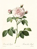 Old illustration of Rosa alba regalis. Created by P. R. Redoute, published on Les Roses, Imp. Firmin Didot, Paris, 1817-24 - 166331374