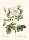 Old illustration of Rosa alba foliacea. Created by P. R. Redoute, published on Les Roses, Imp. Firmin Didot, Paris, 1817-24 - 166331379