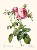 Old illustration of Rosa centifolia foliacea. Created by P. R. Redoute, published on Les Roses, Imp. Firmin Didot, Paris, 1817-24 - 166335364