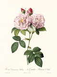 Old illustration of Rosa damascena italica. Created by P. R. Redoute, published on Les Roses, Imp. Firmin Didot, Paris, 1817-24 - 166335902
