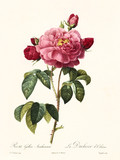 Old illustration of Rosa gallica aurelianensis. Created by P. R. Redoute, published on Les Roses, Imp. Firmin Didot, Paris, 1817-24 - 166336317