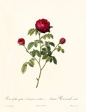 Old illustration of Rosa gallica agatha. Created by P. R. Redoute, published on Les Roses, Imp. Firmin Didot, Paris, 1817-24 - 166336326