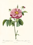 Old illustration of Rosa gallica flore marmoreo. Created by P. R. Redoute, published on Les Roses, Imp. Firmin Didot, Paris, 1817-24 - 166337356