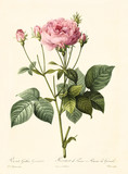 Old illustration of Rosa gallica granatus. Created by P. R. Redoute, published on Les Roses, Imp. Firmin Didot, Paris, 1817-24 - 166337362
