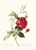 Old illustration of Rosa indica cuenta. Created by P. R. Redoute, published on Les Roses, Imp. Firmin Didot, Paris, 1817-24 - 166338375