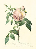 Old illustration of Rosa indica fragrans. Created by P. R. Redoute, published on Les Roses, Imp. Firmin Didot, Paris, 1817-24 - 166338501