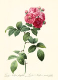Old illustration of Rosa multiflora platyphylla. Created by P. R. Redoute, published on Les Roses, Imp. Firmin Didot, Paris, 1817-24 - 166339535