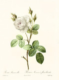 Old illustration of Rosa muscosa alba. Created by P. R. Redoute, published on Les Roses, Imp. Firmin Didot, Paris, 1817-24 - 166339550