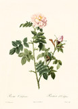Old illustration of Rosa orbefsanea. Created by P. R. Redoute, published on Les Roses, Imp. Firmin Didot, Paris, 1817-24 - 166342738