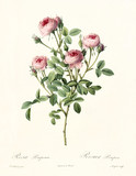 Old illustration of Rosa pomponia. Created by P. R. Redoute, published on Les Roses, Imp. Firmin Didot, Paris, 1817-24 - 166342962