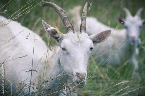 Goats on mountain pastures.