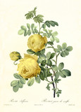 Yellow Sulphur Rose Old illustration of (Rosa hemisphaerica). Created by P. R. Redoute, published on Les Roses, Imp. Firmin Didot, Paris, 1817-24 - 166350135