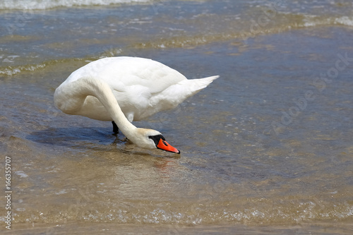 Alone swan on the beach try to drink sea water