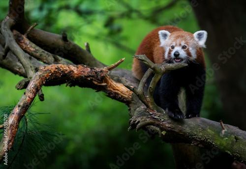Fotobehang Panda Red panda photo