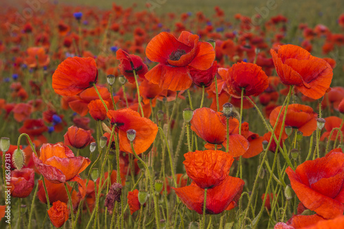 Poster Rood traf. Red poppies among wildflowers in the sunset light