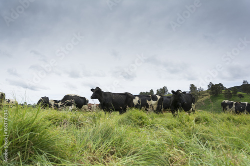 cows and field