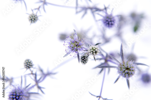 Wall mural Eryngium plant (amethyst sea holly) on a white background