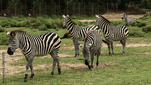 View of some beautiful african zebras (African  equids)  walking in a row on a green grass ground.