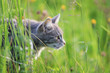 cute striped cat hunts among the lush green grass on a summer meadow