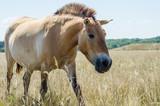 Koń Przhevalsky w stepowym rezerwacie