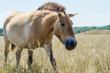 Horse Przhevalsky in the steppe reserve