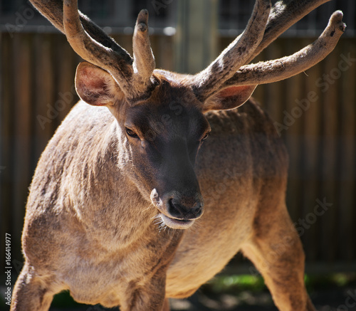 Close-up portrait of red deer.