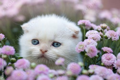 Cute little white scottish fold kitten sitting in flower