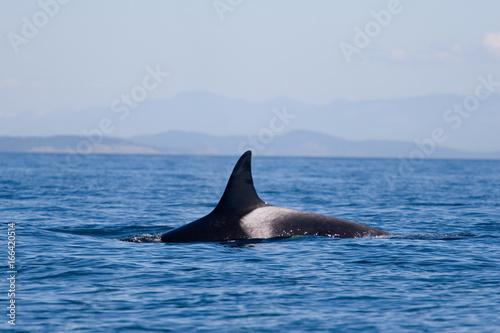 Fototapeta Orca killer whales breaching in the water