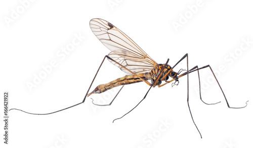 large mosquito on white background - 166421922