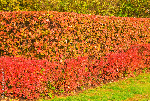 Fotobehang Koraal Hedge of tightly trimmed bushes of black-fruited cotoneaster (Cotoneaster melanocarpus) with reddened leaves in the fall