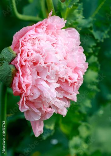 poppy flower beautiful background