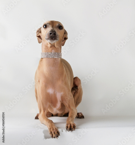 Dog wearing jewelry,  looking up Poster