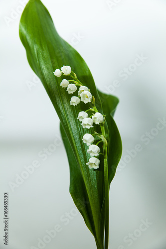 Poster lily of the valley with 13 bells lucky