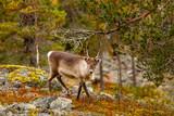 Renifer w pięknym jesiennym lesie, Finlandia, Laponia