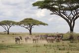 Zebry Tanzanii