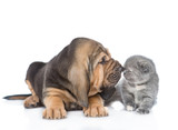 Bloodhound puppy sniffing a kitten. isolated on white background