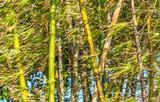 Bambus ao vento.