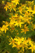 Hypericum yellow flowers with green