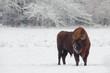 European Bison. Bison bonasus.
