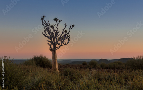 Foto op Plexiglas Zalm quiver tree at sunset Namibia
