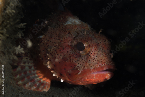 Sculpin fish in shadow Poster